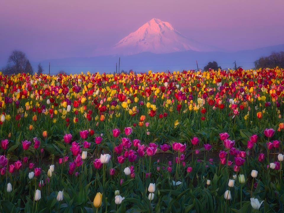 tulip festival.jpg