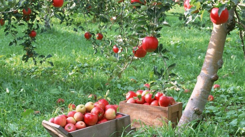 Apple-tree-high-quality-new-wide-hd-wallpapers-for-background-free
